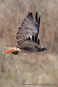 Red-tailed Hawk 4727