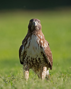 Red-tailed Hawk 0099