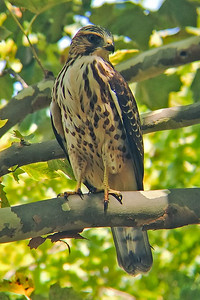 Broad-winged Hawk 5482