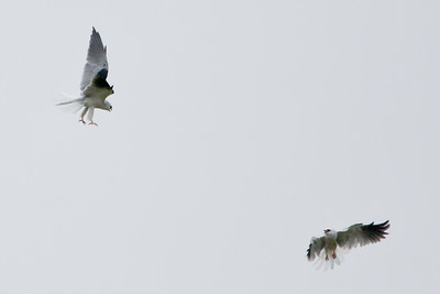 White-tailed Kite 5195