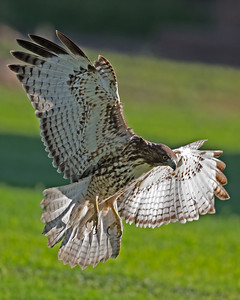 Red-tailed Hawk 0086