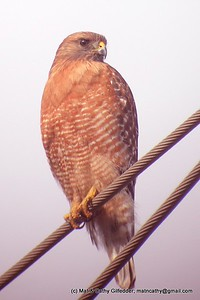 Red-shouldered Hawk 2168