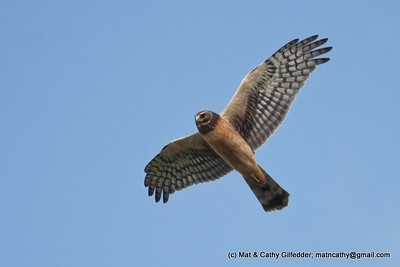Northern Harrier 3963