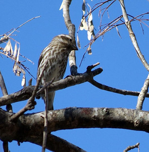 This Purple Finch and several others come to Bear Creek Park in west Harris County, TX for the winter.