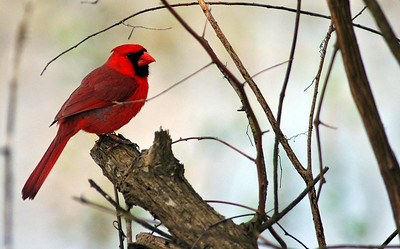 This Northern Cardinal was photographed in Brazos Bend State Park as he was feeding on the ground around the lake.
