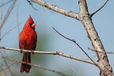Finches, Cardinals, Towhees & Tanagers