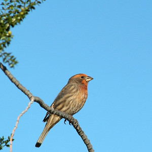 This House Finch was photographed in Palm Springs, California on a trip to Joshua Tree National Park.  They were very common during November.