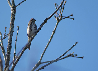 Purple Finch photographed in Bear Creek Park, Harris County, TX.