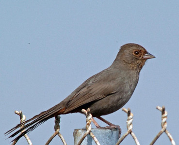 This west coast bird is a California Towhee.  He was photographed at Bolsa Chica Refuge amongst all the White-crowned Sparrows and House Finches.