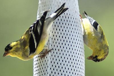 American Goldfinches (backyard)