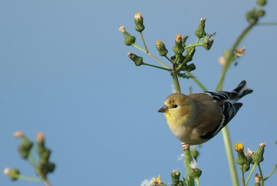 American Goldfinch photographed at Brazos Bend State Park around the 40 Acre Lake.