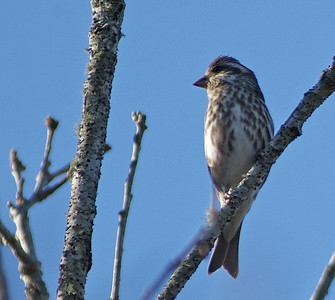 This Purple Finch displays her brightly streaked breast.  Photo taken in Bear Creek Park, Harris County, TX.