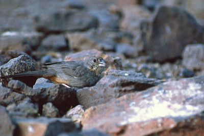 This Canyon Towhee was photographed in Davis Mtns State Park.