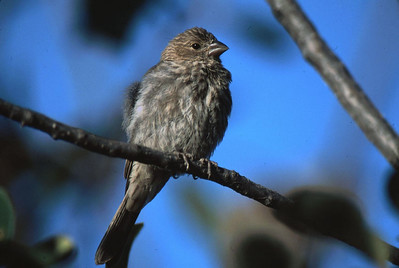 This Cassin's Finch was photographed at MacGregor Mtn Lodges near Rocky Mountain National Park.