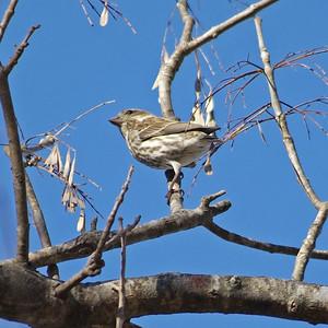Purple Finch backside, Bear Creek Park