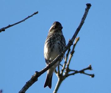 Purple Finch in Bear Creek Park, January 3, 2006.
