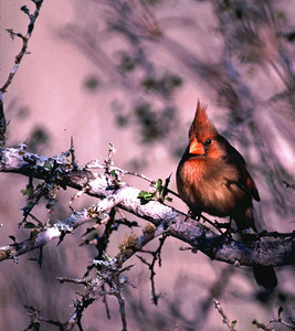 This Northern Cardinal female was photographed on the Halff Brothers Ranch near Pearsall, TX.