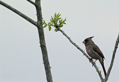 This Prryhuloxia was discovered in Waller County and photographed along Morgan Road as it was foraging with some Mockingbirds and Cardinals.