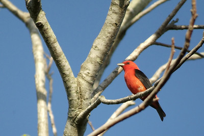 Scarlet Tanager photographed in Sabine Woods