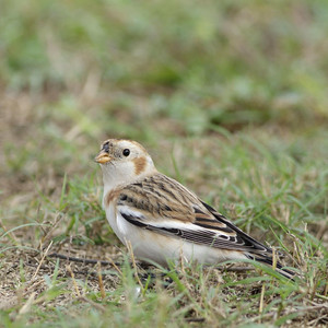 Snow Bunting on South Padre Island? Yes, this little guy decided to follow the Winter Texans down south.  He was photographed on Isle Blanca Park, South Padre Island, TX.