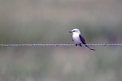 Sissor-tailed Flycatcher photographed on Hwy 87 between The Willows and McFaddin NWR.