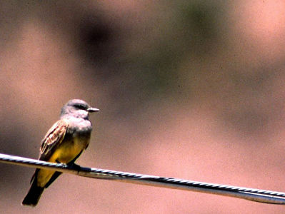 Cassin's Kingbird photographed in Ft.Davis, TX.