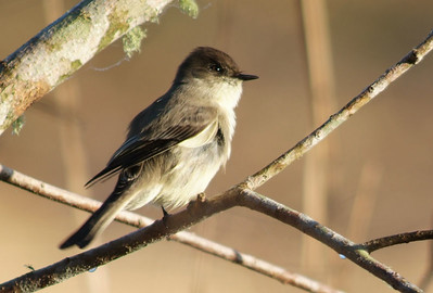 On a cold day in Brazos Bend State Park this Eastern Phoebe is fluffing up his feathers to stay warm.