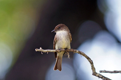 This Eastern Phoebe was also photographed on the Reeves Ranch, Uvalde County.