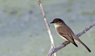 Eastern Phoebe in Brazos Bend State Park