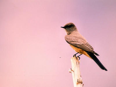 Say's Phoebe photographed in Davis Mountains State Park