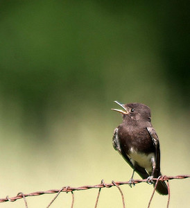 Black Phoebe photographed in Uvalde County, TX