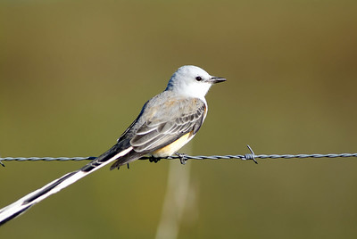 Sissor-tailed Flycatcher, Katy Prairie