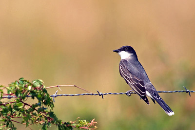 This Eastern Kingbird was photographed on the Attwater Prairie Chicken NWR.