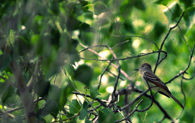 Great Crested Flycatcher photographed in the Edith L. Moore Sanctuary, Houston Audubon Society, Houston, TX