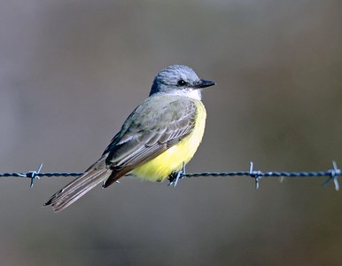 This Couch's Kingbird was photographed in the Bay City Birding Center.