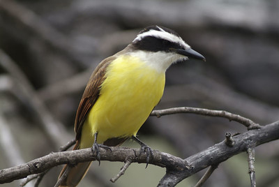 Great Kiskadee in the Dewind's yard, Salineno, TX.
