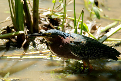 This little Green Heron paid not attention to me as he plucked small frogs out of the water.