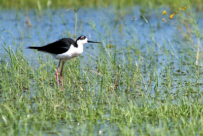 This little Black-necked Stilt kept rolling his head to the side looking skyward for hawks.
