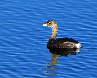 Pied-billed Grebe in Brazos Bend State Park