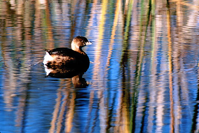 The Pied-billed is a small grebe that is a Texas resident year round.  He was photographed in Brazos Bend State Park.