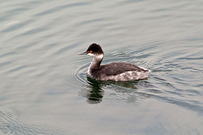 This little Eared Grebe was photographed at Bolsa Chica wetlands area in Southern Califonia.