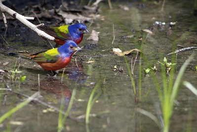 Two Painted Buntings at a bath in Sabine Woods.