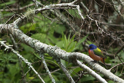 Painted Bunting photographed at Sabine Woods, TOS