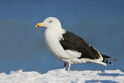 Greater black-backed gull - 6215