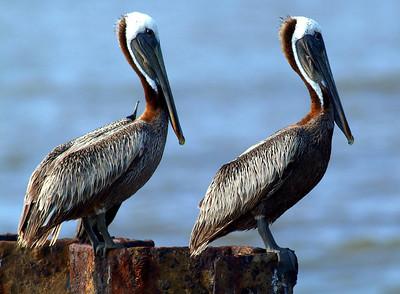 Seeing double........Brown Pelicans