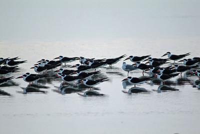Black Skimmers facing the wind at sundown
