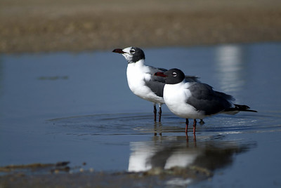 Laughing Gulls