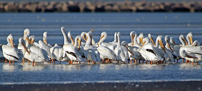 White Pelicans photographed on the Bolivar flats, upper Texas coast