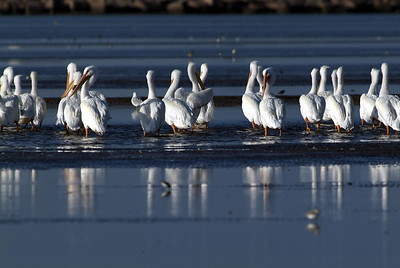 White Pelicans on the Bolivar Peninsular