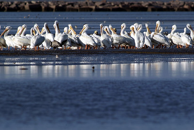 White Pelicans on the Bolivar peninsular